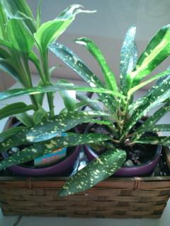 観葉植物新規2種