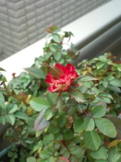 ミニバラの花